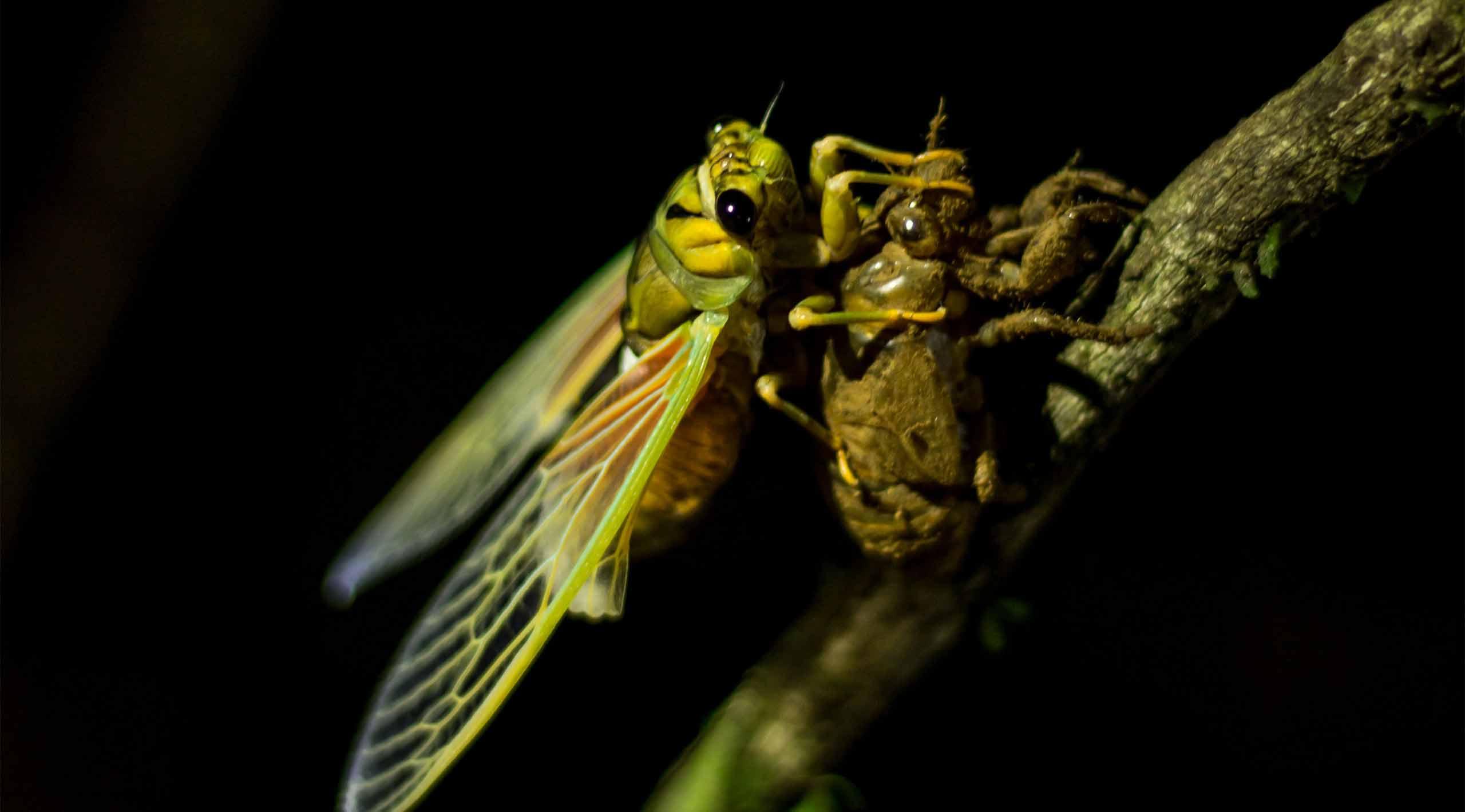 Nanai, Fiji cicada, naturefiji,mareqetiviti